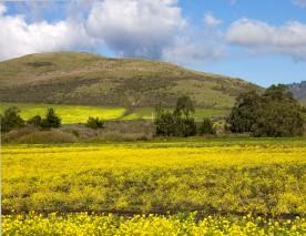 mustard_hillsides