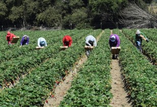 immigration_california_strawberries2