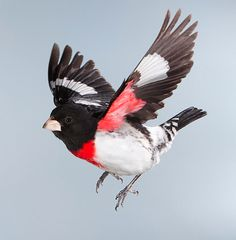 red_breasted_grosbeak_1
